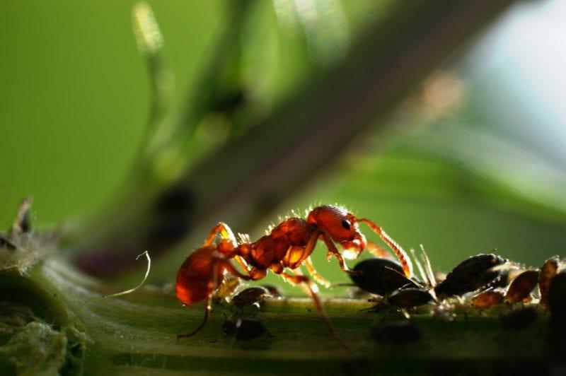 Ameisen Blattläuse