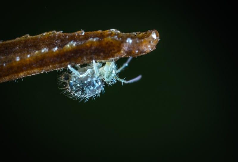 Hausmittel gegen Blattläuse