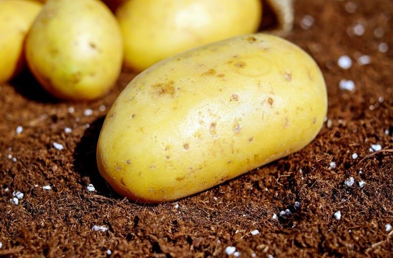 Hausmittel gegen Blattläuse - Kartoffel