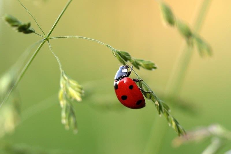 Marienkäfer um Blattläuse zu bekämpfen
