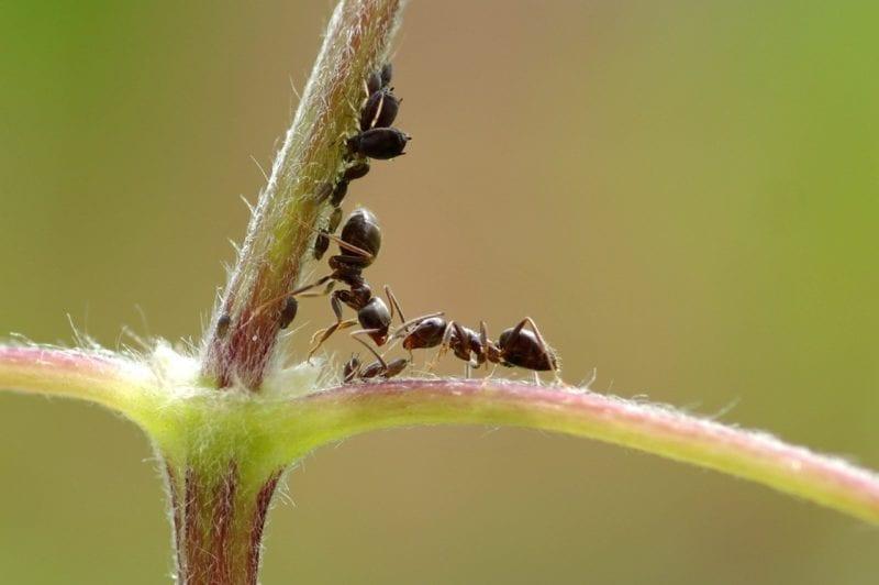 Blattlaus und Ameisen