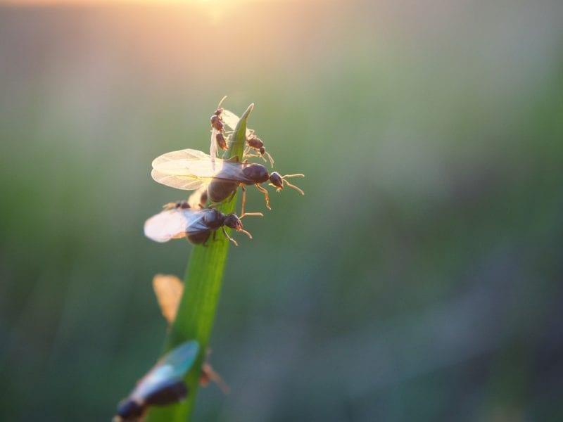 Fliegende Ameisen bekämpfen
