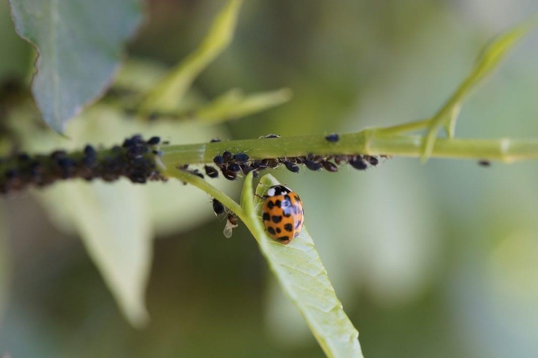 Honig der Blattlaus
