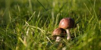 Pilz im Rasen