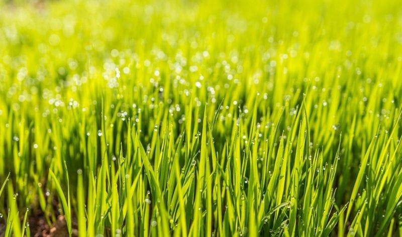 Pilz im Rasen auf Grund von Feuchtigkeit