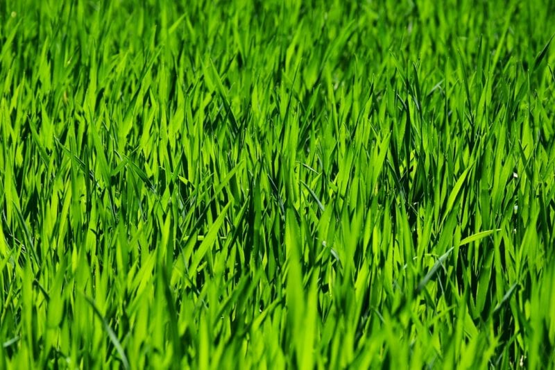 Rasen Keimdauer