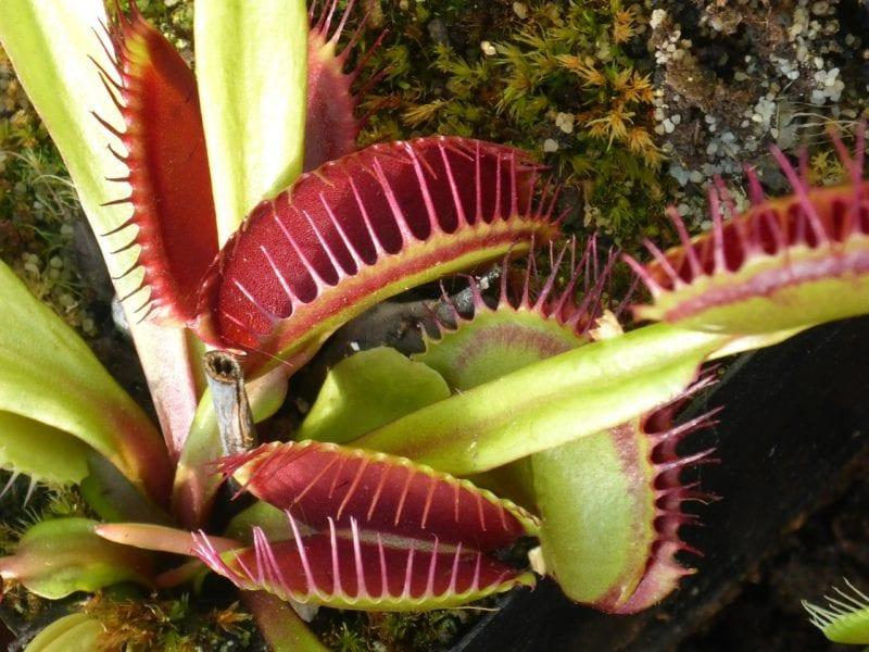 Als Hausmittegel gegen Fruchtfliegen wirkt auch eine fleischfressende Pflanze gut