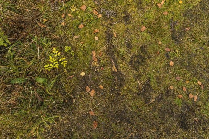 Eisendünger gegen Moos im Rasen