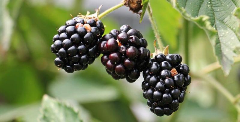 Was fressen marder - Beeren