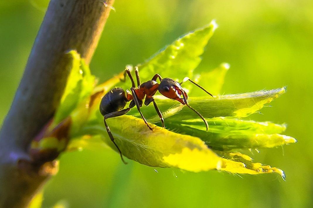 Ameisenfalle