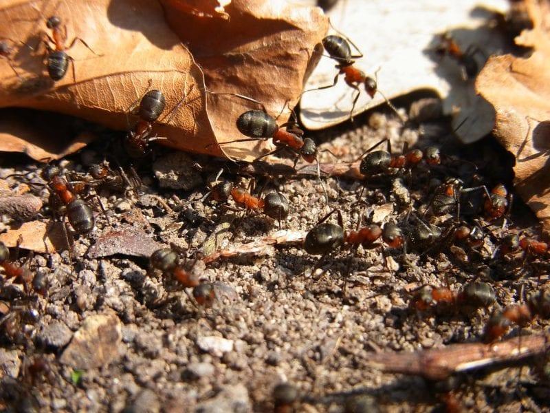 Ameisengift - welches ist das wirkungsvollste - gartenora.de