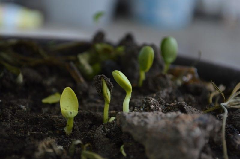 Blaukorn und Kompost