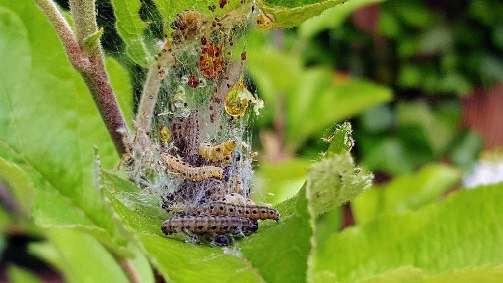 Maulwurfnetz - Raupen