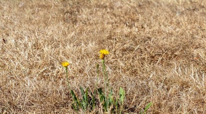 Rasen wird gelb