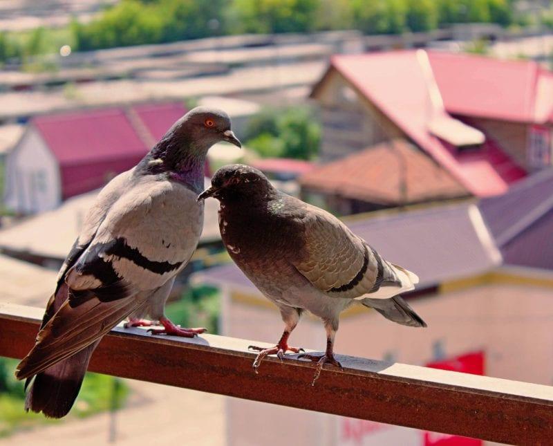 tauben mit einer vogelscheuche auf dem balkon vertreiben. Black Bedroom Furniture Sets. Home Design Ideas