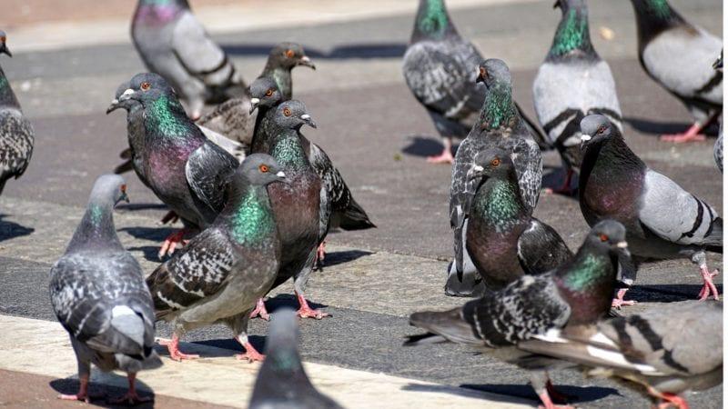 Vogelscheuche Tauben