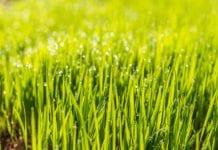 Flüssigdünger für Rasen