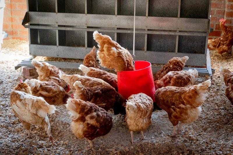 Marderköder - Huhn