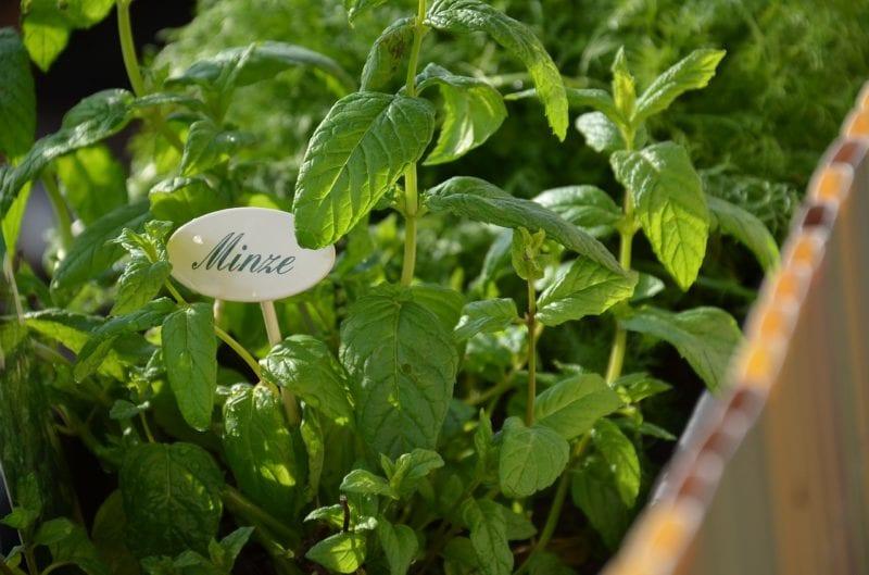 Minze gegen Schnecken - Mulch