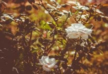 Rosenschere