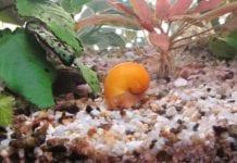 Schneckenfalle Aquarium