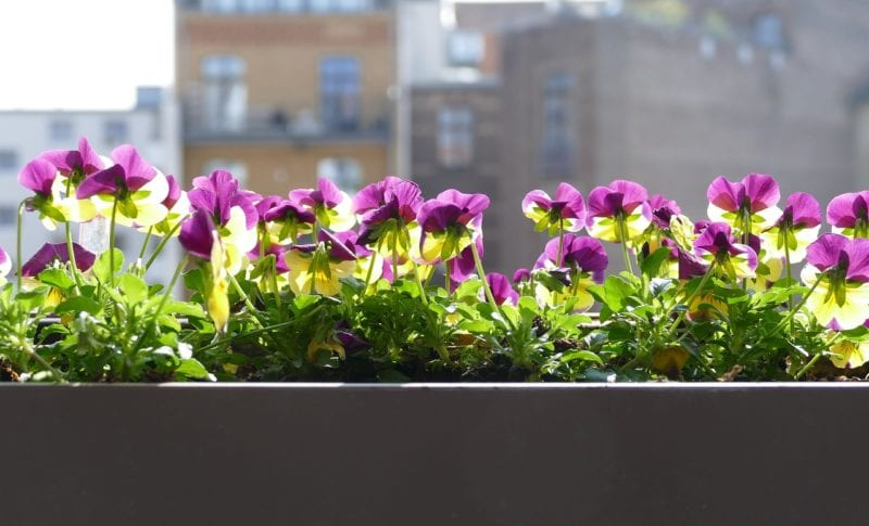 Balkonpflanzen als Sichtschutz