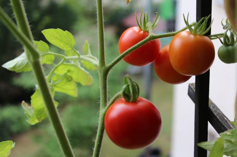 Gewächshaus Balkon - Tomaten