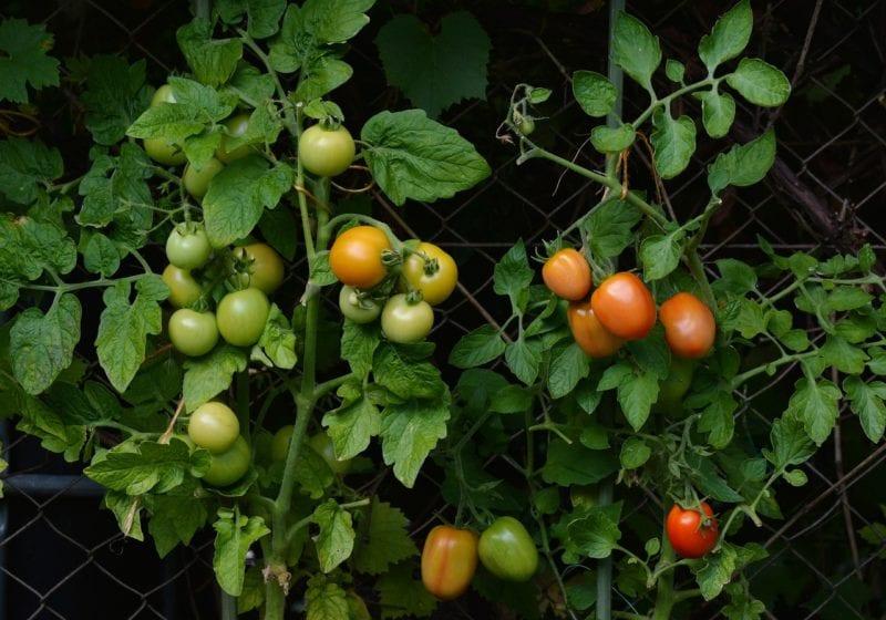 Kompost - Tomaten