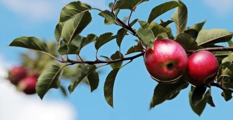 Obstbaum - Baumschere