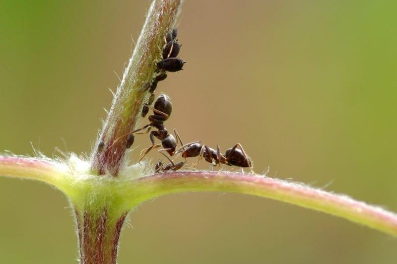 Ameise und Blattlaus