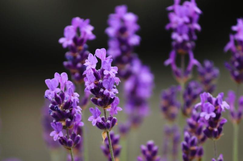 Lavendel - Gewächshaus