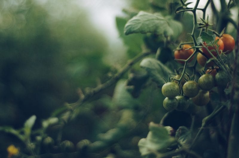 Tomate - Schnecken