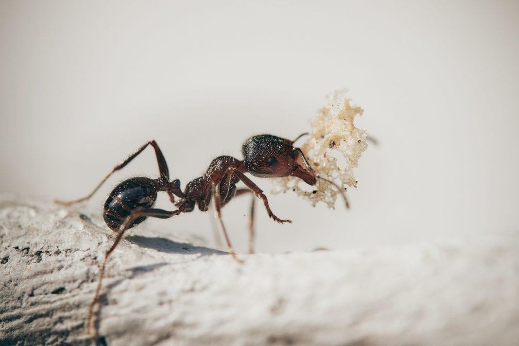 Wie schnell wirkt Ameisenköder