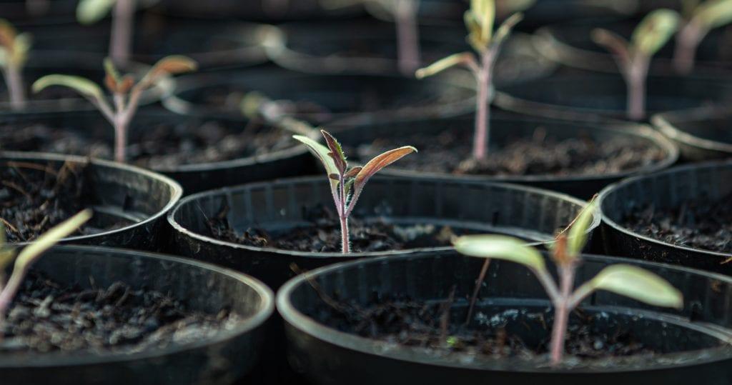 Jungpflanzen im Anzuchthaus