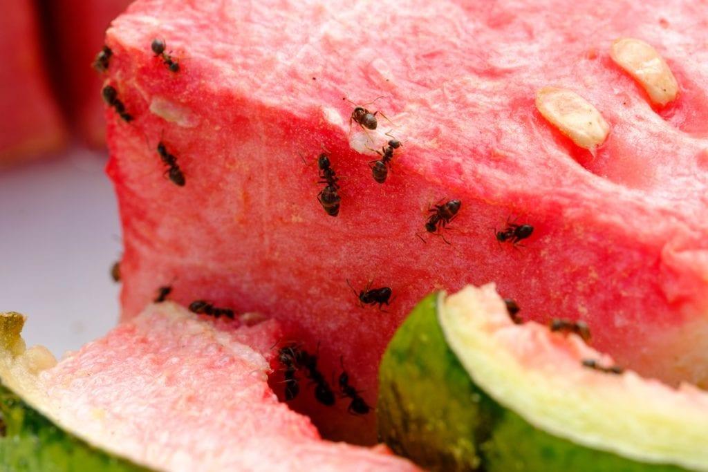 Ameisen an Melone