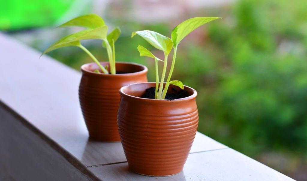 Blattlaus Balkonpflanze