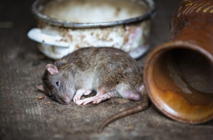 Ratten auf dem Balkon