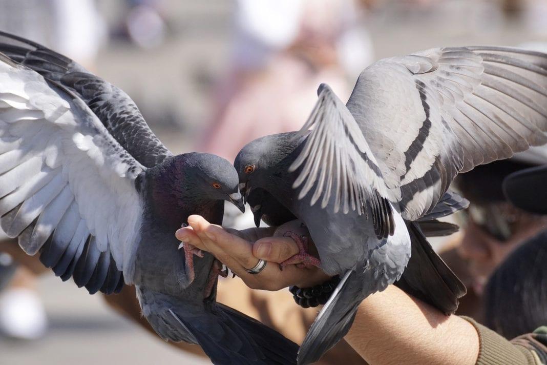 Was fressen Tauben
