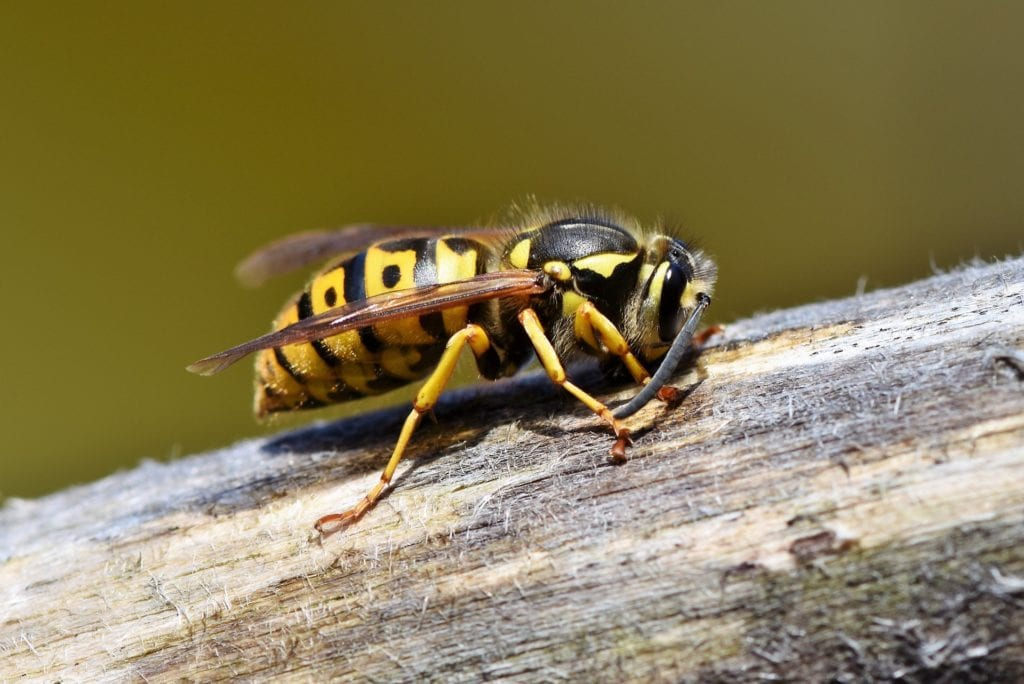 Wespe - Naturschutz
