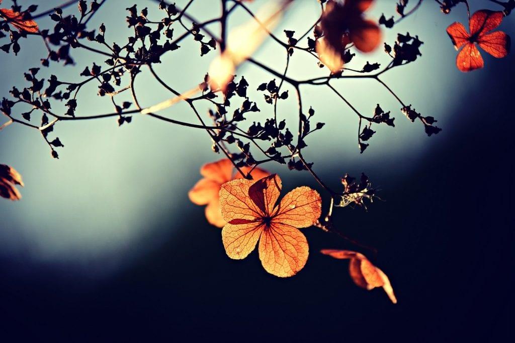 Hirse im Herbst