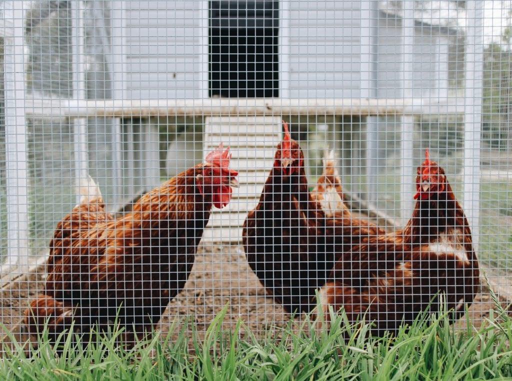 Hühnerstall sichern