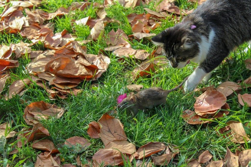 Katzen gegen Ratten