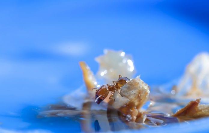 Können Ameisen schwimmen