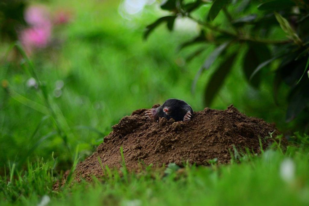 Maulwurfhügel im Rasen