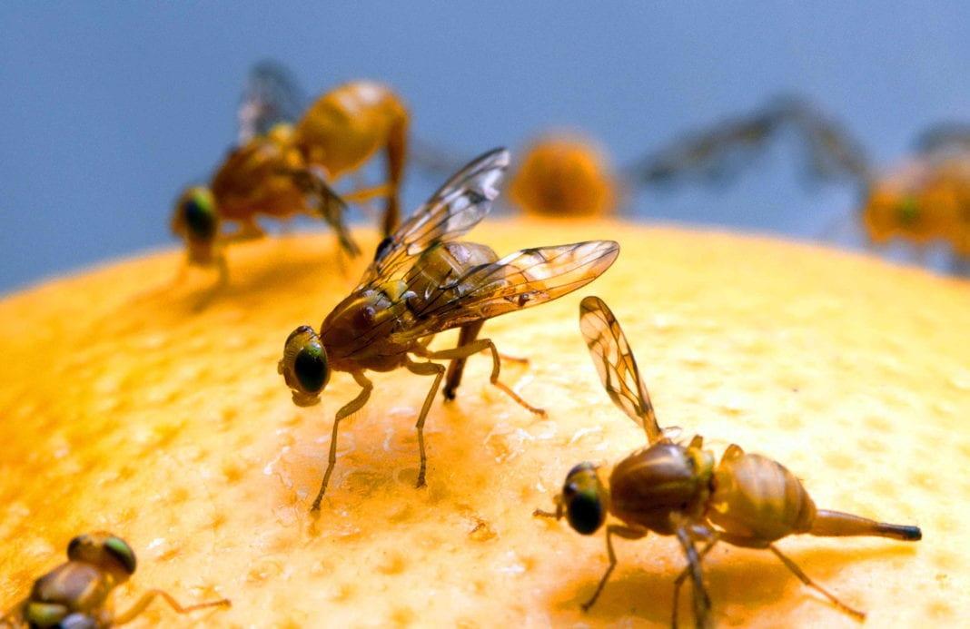 Obstfliegenfalle