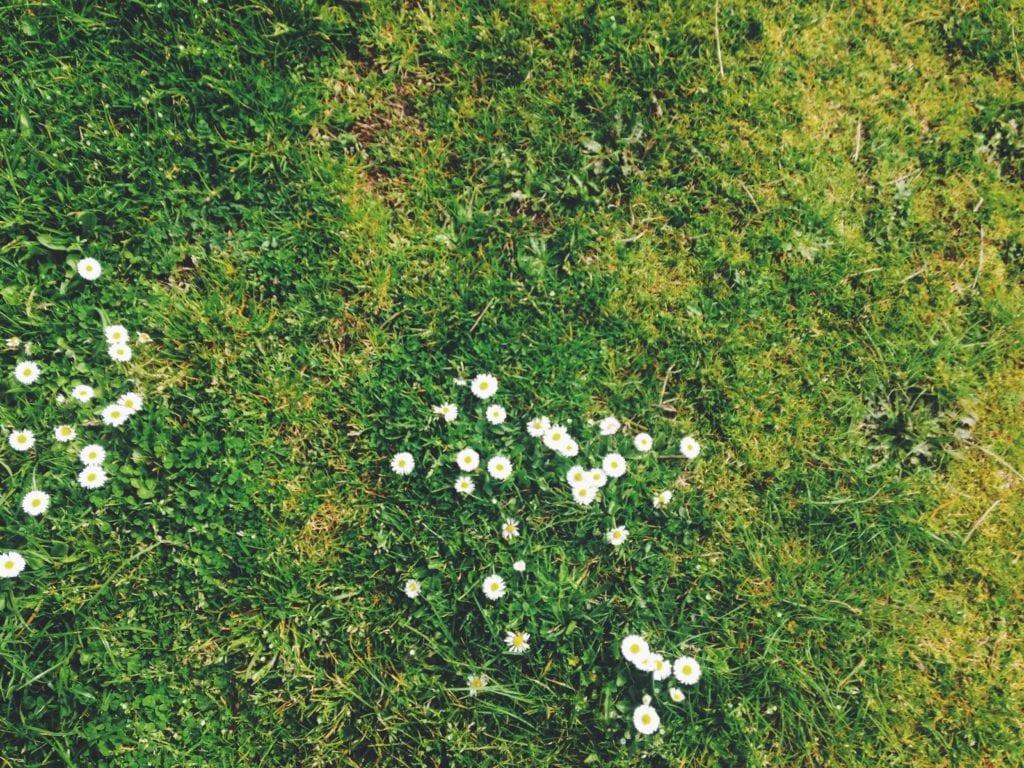 Rasen düngen - absterben