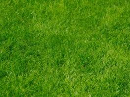 Rasen überdüngt