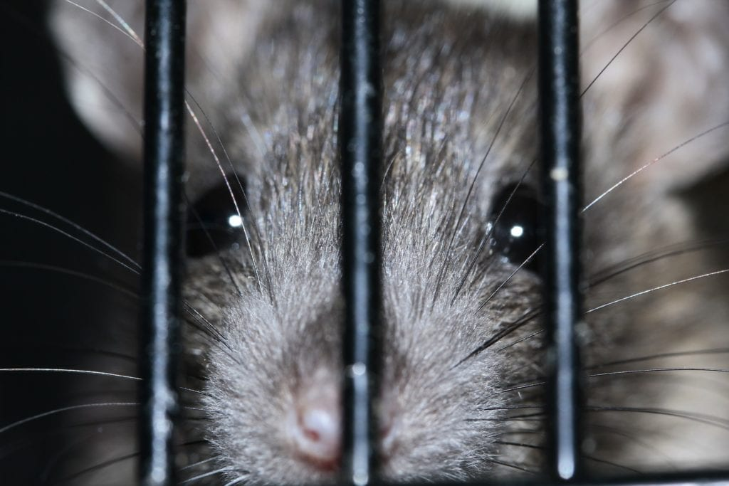 Ratte in Falle