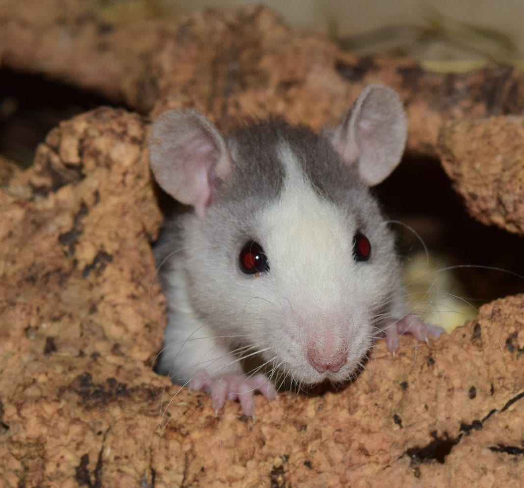 Ratten im Haus