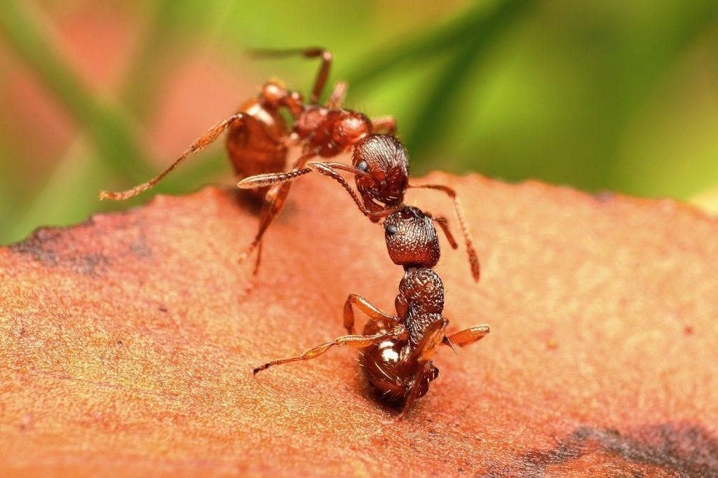 Rote Ameise - nachtaktiv